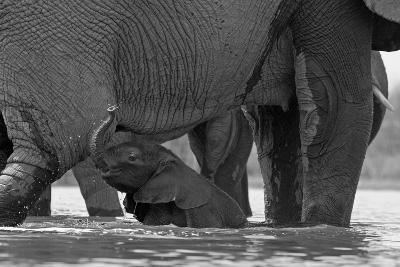 An African Elephant Calf Playing in the Water with its Herd-Beverly Joubert-Photographic Print