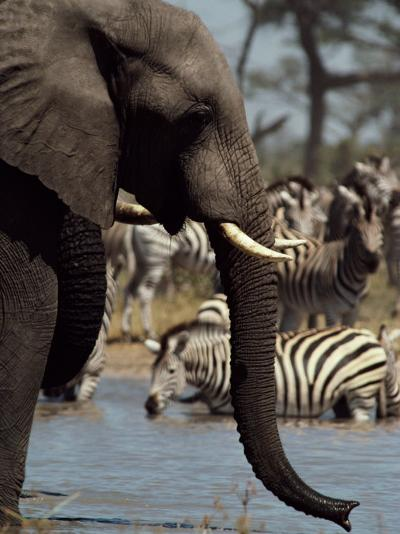 An African Elephant Drinks from a Water Hole Shared by a Herd of Plains Zebras-Beverly Joubert-Photographic Print