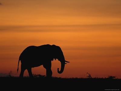 An African Elephant in Silhouette at Dusk-Norbert Rosing-Photographic Print