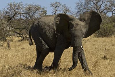 An African Elephant in South Africa's Timbavati Game Reserve-Steve Winter-Photographic Print