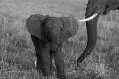 An African Elephant, Loxodonta Africana, Calf Grazing with its Mother-Beverly Joubert-Photographic Print