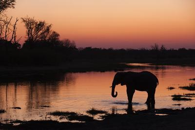 An African Elephant, Loxodonta Africana, Drinking in the Khwai River at Sunset-Sergio Pitamitz-Photographic Print