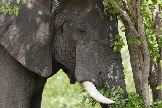 An African Elephant, Loxodonta Africana, Feeding on Leaves from a Tree-Sergio Pitamitz-Photographic Print