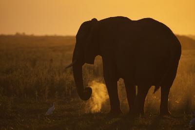 An African Elephant, Loxodonta Africana, Grazing under the Setting Sun-Beverly Joubert-Photographic Print
