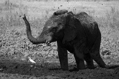An African Elephant, Loxodonta Africana, Mudding Itself under the Hot Sun-Beverly Joubert-Photographic Print