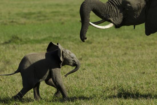 An African Elephant Mother Urging Her Calf on with Her Trunk-Beverly Joubert-Photographic Print
