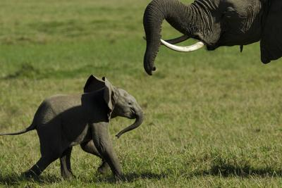 https://imgc.artprintimages.com/img/print/an-african-elephant-mother-urging-her-calf-on-with-her-trunk_u-l-psvvpb0.jpg?p=0