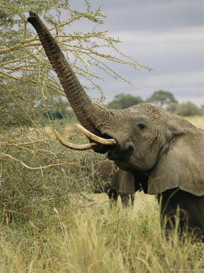 An African Elephant Uses its Trunk to Reach into a Tree-Roy Toft-Photographic Print