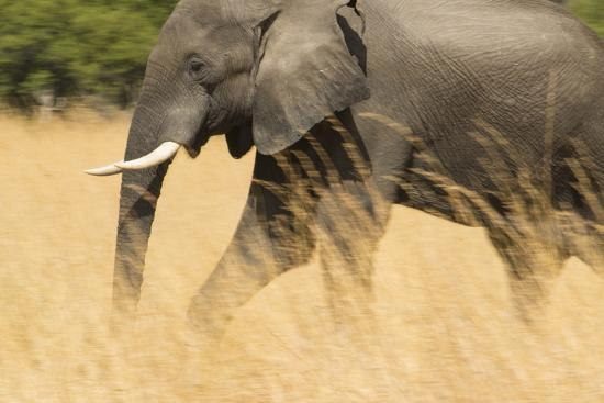 An African Elephant Walking in Tall Grass at the Selinda Reserve-Michael Melford-Photographic Print