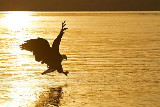An African Fish Eagle Alights on the Nile River Bathed in Sunlight at Sunset-Cory Richards-Photographic Print