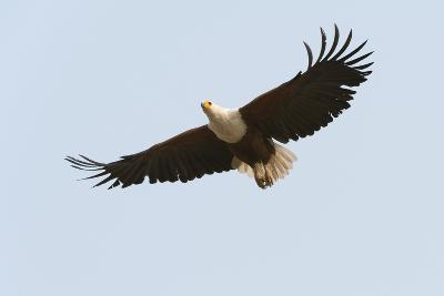 An African Fish Eagle, Haliaeetus Vocifer, in Flight-Sergio Pitamitz-Photographic Print