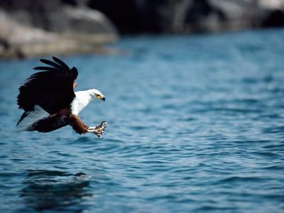 An African Fish Eagle Swoops Towards the Waters Surface-Bill Curtsinger-Photographic Print
