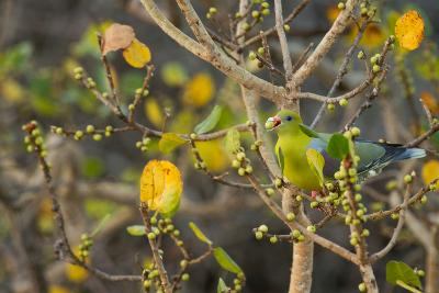 An African Green Pigeon Eating Fruits in a Tree-Erika Skogg-Photographic Print