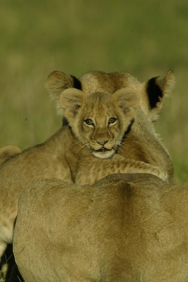 An African Lion Cub, Panthera Leo, Climing Onto It's Mother's Back-Beverly Joubert-Photographic Print