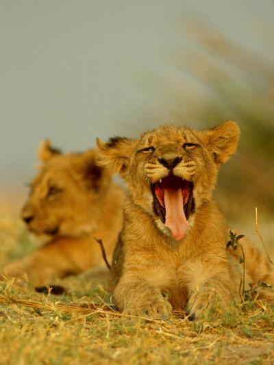 An African Lion Cub Yawns While Resting-Beverly Joubert-Photographic Print
