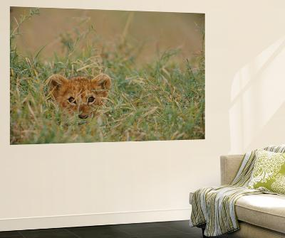 An African Lion (Panthera Leo) Cub Peers At the Camera Through the Grass-Michael Nichols-Wall Mural