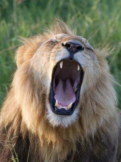 An African Lion Yawning-Roy Toft-Photographic Print