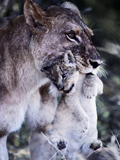 An African Lioness Carries Her Young Cub-Beverly Joubert-Photographic Print