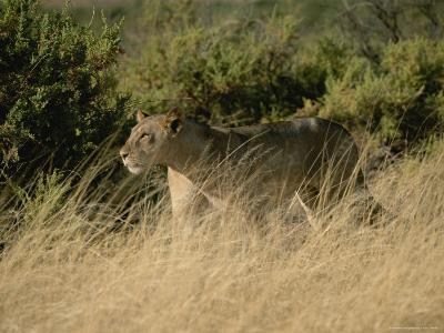 An African Lioness in a Landscape of Dry Grass and Shrubs-Roy Toft-Photographic Print