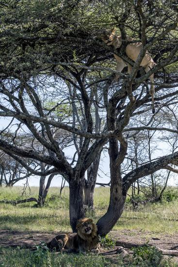 An African Lioness in Estrus Sleeps in a Tree to Avoid Insects and the Attentions of the Male-Jason Edwards-Photographic Print