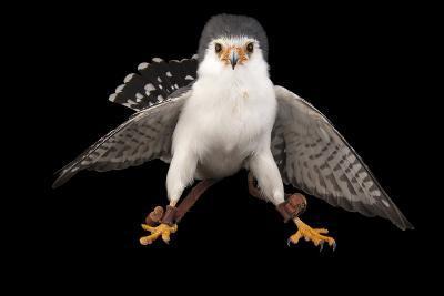An African Pygmy Falcon, Polihierax Semitorquatus, at the Houston Zoo-Joel Sartore-Photographic Print