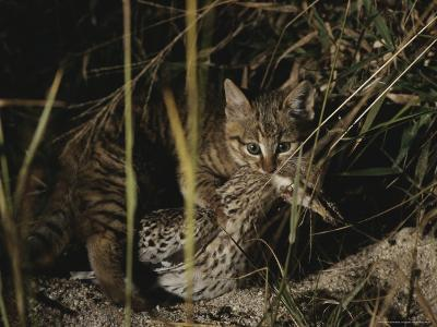 An African Wild Cat Kitten Holds a Bird in Its Jaws-Kim Wolhuter-Photographic Print