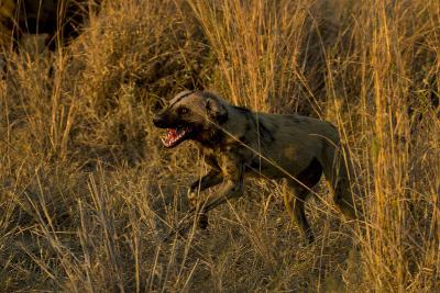 An African Wild Dog, Lycaon Pictus, Running and Baring its Teeth-Beverly Joubert-Photographic Print