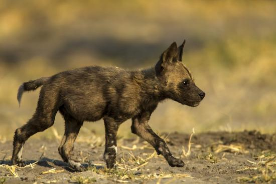An African Wild Dog Pup, Lycaon Pictus-Beverly Joubert-Photographic Print