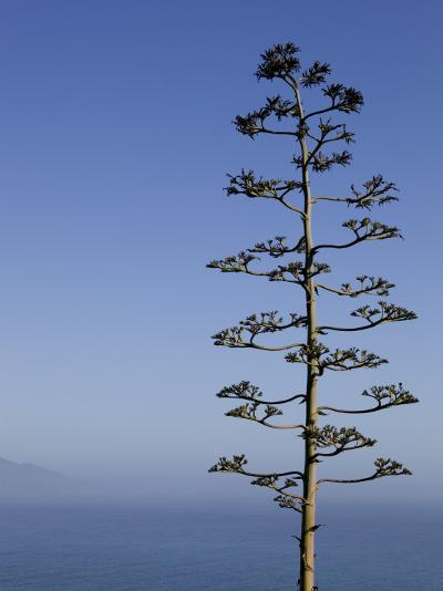 An Agave Plant (Agave Americana), Overlooking Pacific Ocean-Brent Winebrenner-Photographic Print