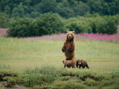 An Alaskan Brown Bear Guards Her Cubs-Roy Toft-Photographic Print
