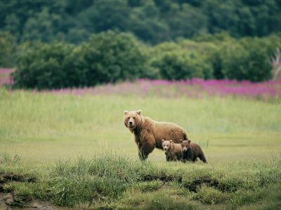 An Alaskan Brown Bear Keeps an Eye on Her Cubs-Roy Toft-Photographic Print