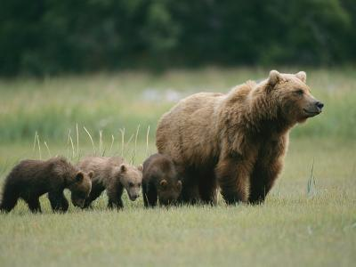 An Alaskan Brown Bear Leads Her Three Cubs-Roy Toft-Photographic Print
