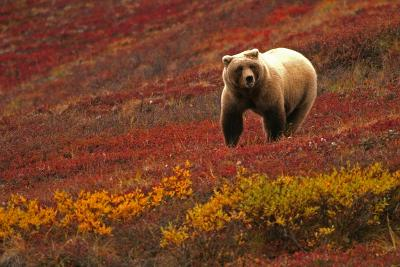 An Alaskan Brown Bear Standing on a Tundra with Fall Foliage-Roy Toft-Photographic Print