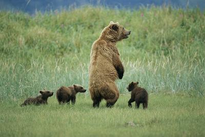 An Alaskan Brown Bear Stands Up to Look Out for Any Danger As She Protects Her Three Cubs-Roy Toft-Photographic Print