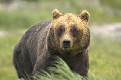 An Alaskan Brown Bear Stares Intently at Camera-John Alves-Photographic Print