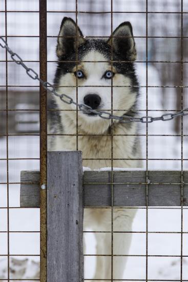 An Alaskan Huskies Peering Through the Wire of its Kennel-Jonathan Irish-Photographic Print