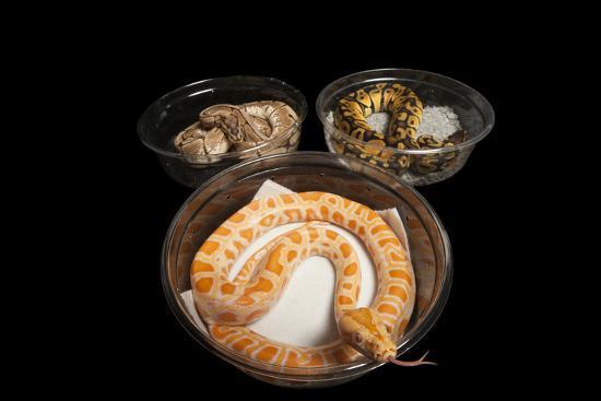 An Albino Burmese Python and Two Ball Python in Containers, Python Bivittatus, Python Regius.-Joel Sartore-Photographic Print