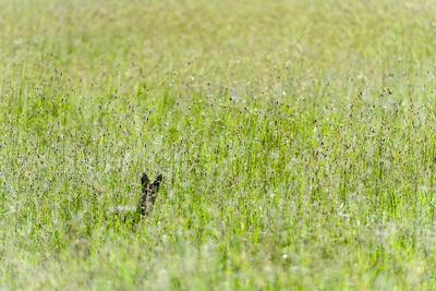 https://imgc.artprintimages.com/img/print/an-alert-black-backed-jackal-pokes-up-above-seeding-grasses-while-hunting-on-a-savannah-plain_u-l-pol33i0.jpg?p=0