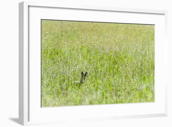 An Alert Black-Backed Jackal Pokes Up Above Seeding Grasses While Hunting on a Savannah Plain-Jason Edwards-Framed Photographic Print