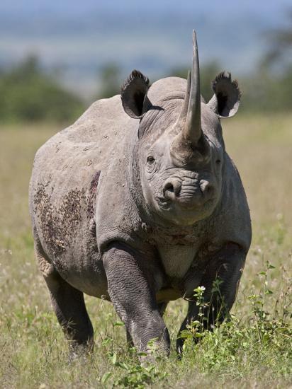 An Alert Black Rhino; Mweiga, Solio, Kenya-Nigel Pavitt-Photographic Print
