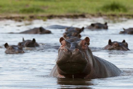 An Alert Hippopotamus, Hippopotamus Amphibius, Among Others in the Water-Sergio Pitamitz-Photographic Print
