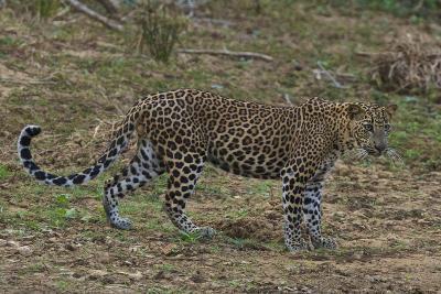 An Alert Leopard in Yala National Park-Steve Winter-Photographic Print
