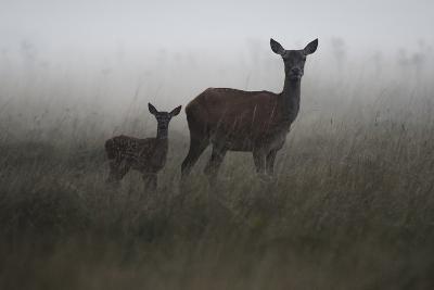 An Alert Red Deer Doe, Cervus Elaphus, and Her Fawn in Fog-Bertie Gregory-Photographic Print