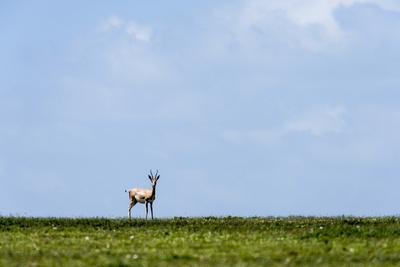 https://imgc.artprintimages.com/img/print/an-alert-solitary-grant-s-gazelle-motionless-on-the-horizon-of-the-short-grass-savannah-plain_u-l-pok8th0.jpg?p=0