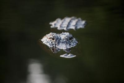 https://imgc.artprintimages.com/img/print/an-alligator-breaks-the-surface-of-billy-s-lake_u-l-pil4ix0.jpg?p=0
