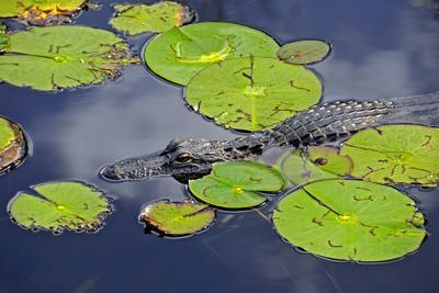 https://imgc.artprintimages.com/img/print/an-alligator-floats-in-the-afternoon-sun-amongst-lily-pads_u-l-q1bl2n50.jpg?p=0