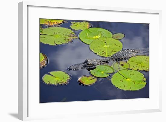 An Alligator Floats in the Afternoon Sun Amongst Lily Pads-Raymond Gehman-Framed Photographic Print