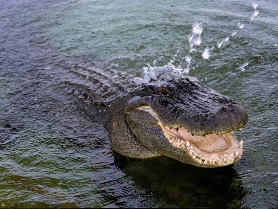 An Alligator Leaps from the Water in the Louisiana Bayou--Photographic Print