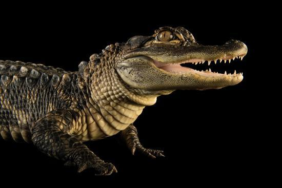 An American Alligator, Alligator Mississippiensis, at the Lincoln Children's Zoo.-Joel Sartore-Photographic Print