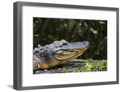 An American Alligator Basking in the Late Afternoon Sun-Mauricio Handler-Framed Photographic Print